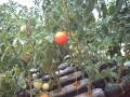 2008 Pomodori